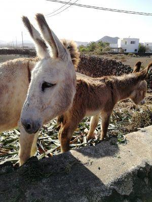 Esel in Inselinneren von Fuerteventura