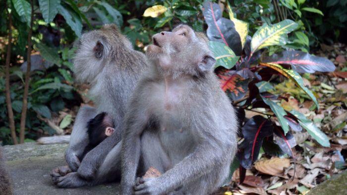 Drei Affen iM Monkey Forest
