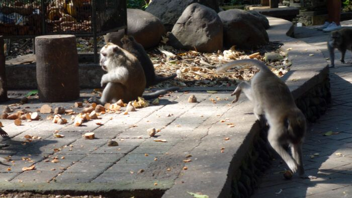 Makaken im Monkey Forest