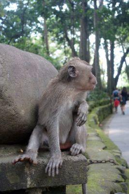 makaken angriff monkey forest 01