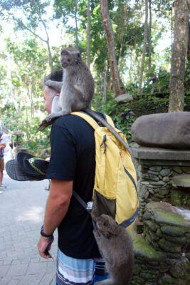 makaken angriff monkey forest 04